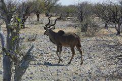 Namibia - Kudu