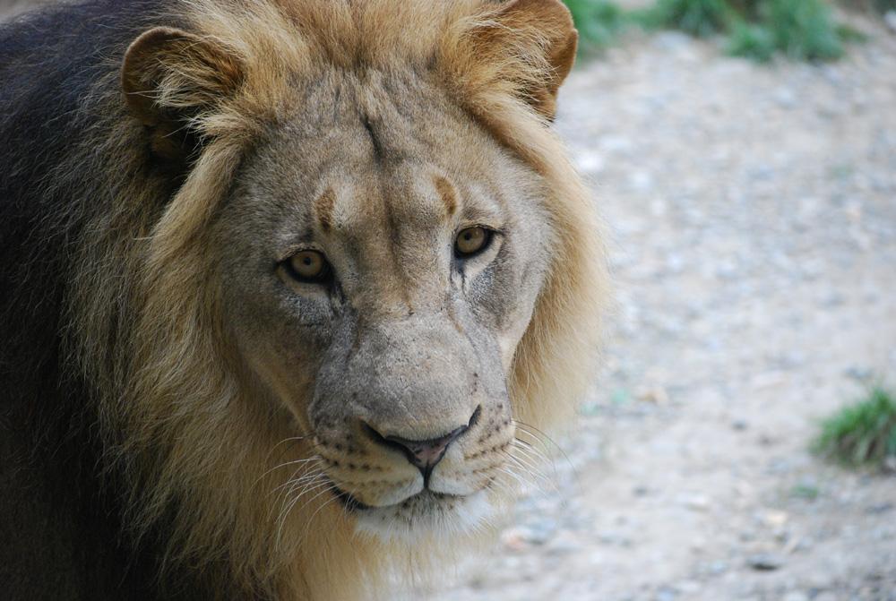 Namibia-Löwe im Basler Zoo