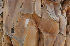 Namibia - Rinde eines Köcherbaums