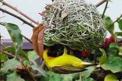 Namibia - Webervogel