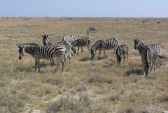Namibia - Zebraherde im Etosha Nationalpark