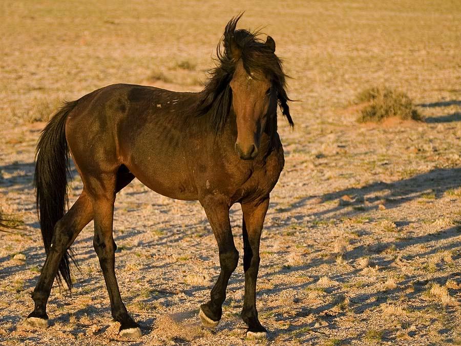 Namibwildpferd