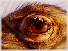 Nandu-Auge