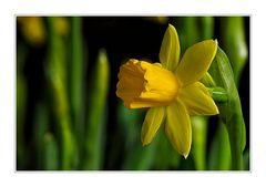 Narcis #01