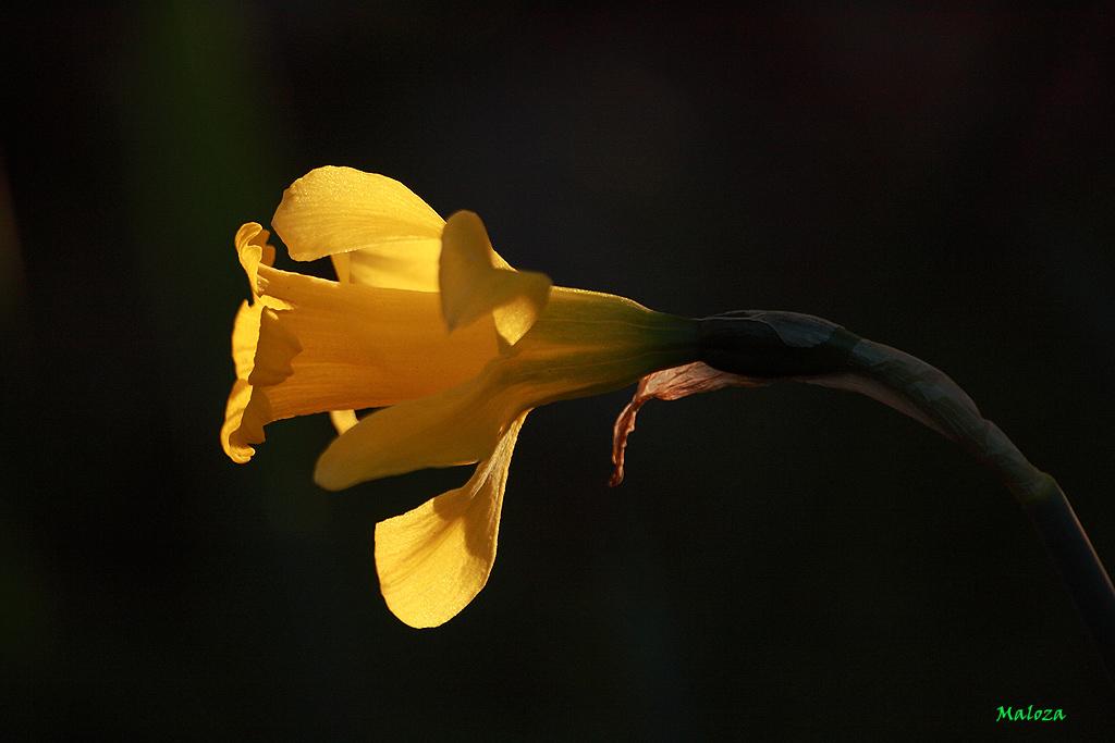 Narcissus bugei a contraluz.