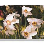 Narcissus poeticus (Fasanenaugnarzisse)