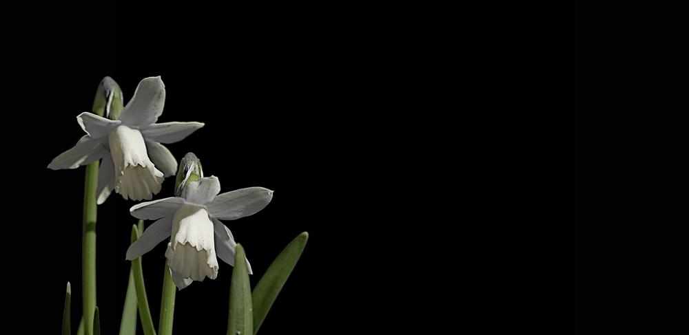 Narcissus Pseudonarcissus EBVus Albinus ;-)))
