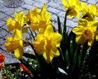 Narcissus und die Tulipan die ziehen sich viel schöner an als Salomonis Seiden
