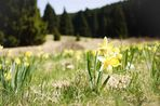 Narcissus - Wilde Osterglocken im Perlenbachtal