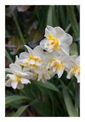 Narcissus2013
