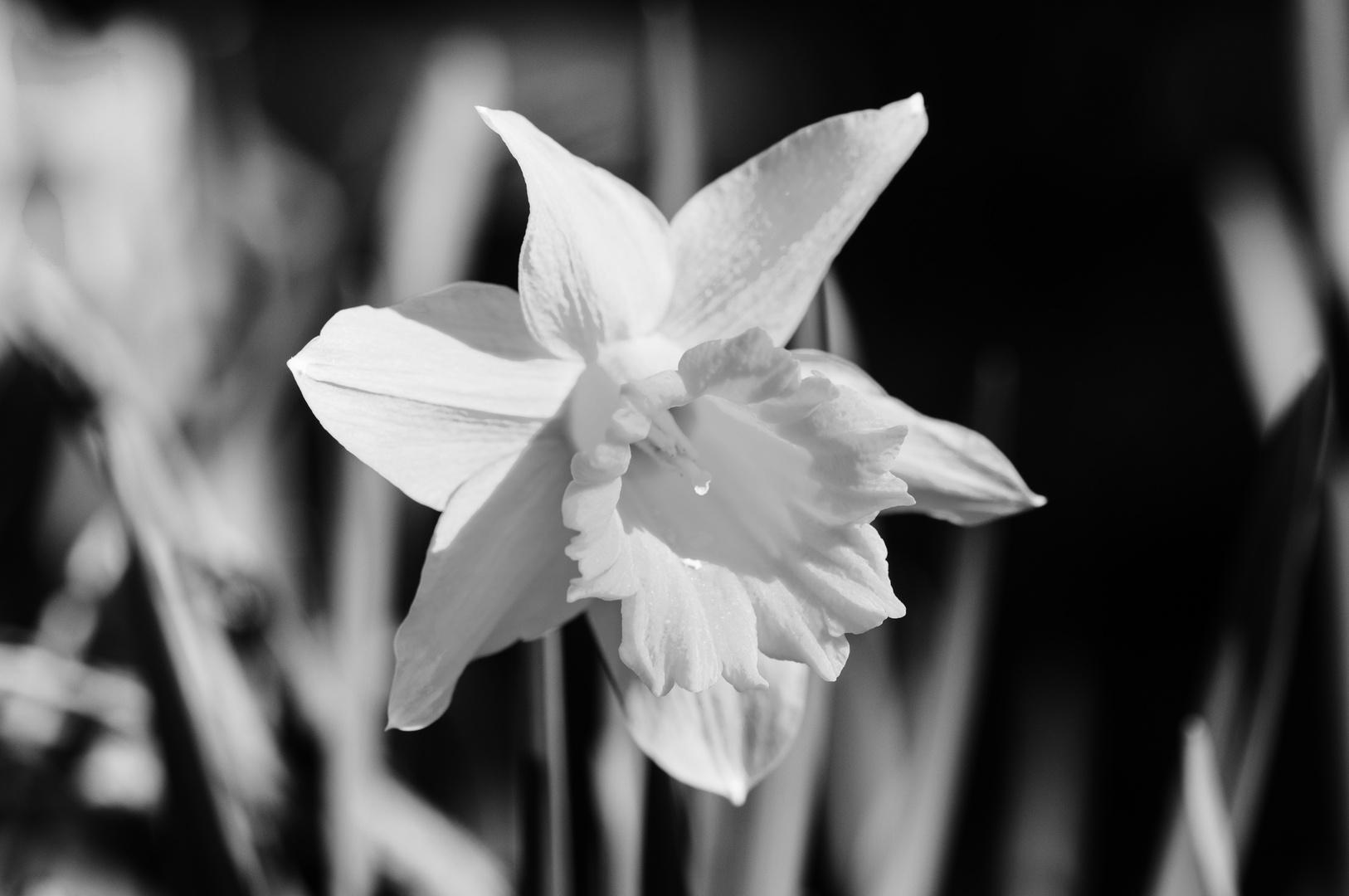 Narzisse im Garten Schwarz Weiß