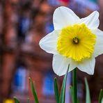 Narzisse (Mittwochsblümchen)
