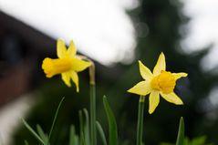 Narzissen im Garten ... nun endlich ist der Frühling da!!!