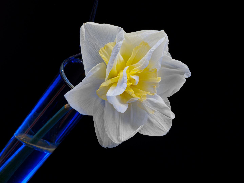 Narzissenblüte im Reagenzglas