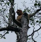 Nasenaffe im Bako-Nationalpark auf Borneo 2004