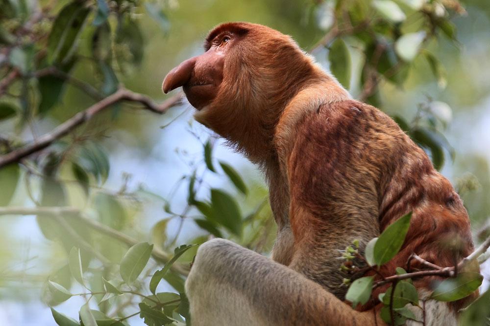 nasenaffe im regenwald