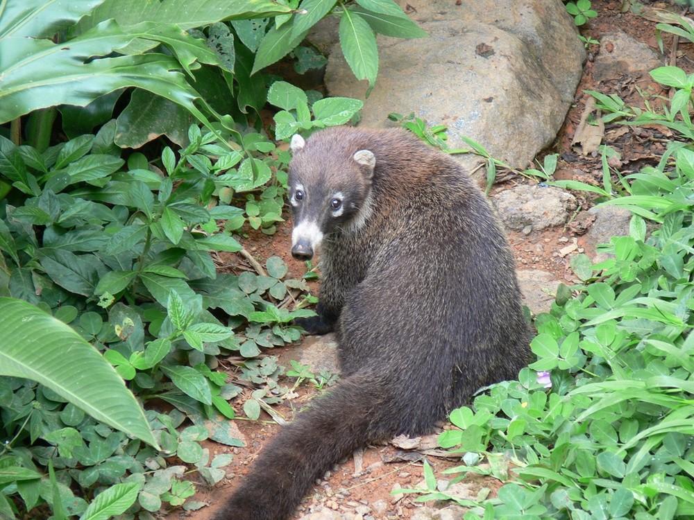 Nasenbär im Tapanti Nationalpark