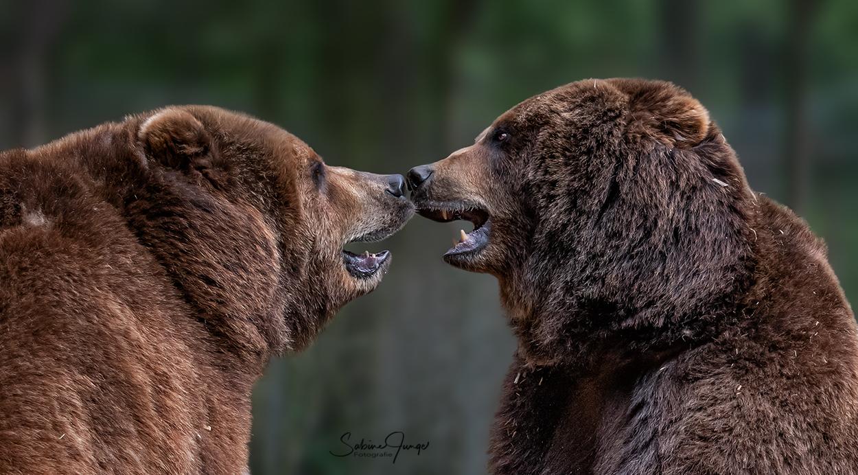 Nasenbären