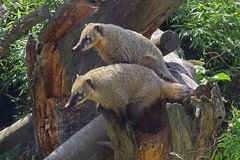 Nasenbären (Zoo Neuwied)