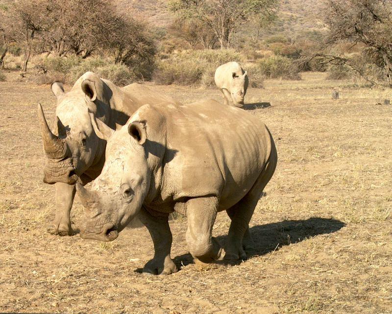 Nashörner bei Okahandja