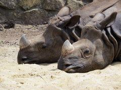 Nashörner beim Mittagsschläfchen