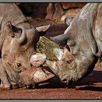 Nashörner im Kampf