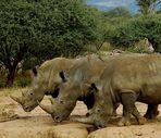 Nashörner mit Begleiter