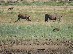 Nashörner , Weiblich und männlich .