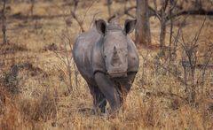 Nashorn frontal