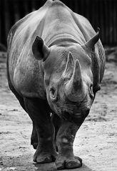 Nashorn im Kölner Zoo