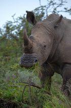 Nashorn im Shamwari Game Reserve