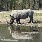 Nashorn im Spiegel