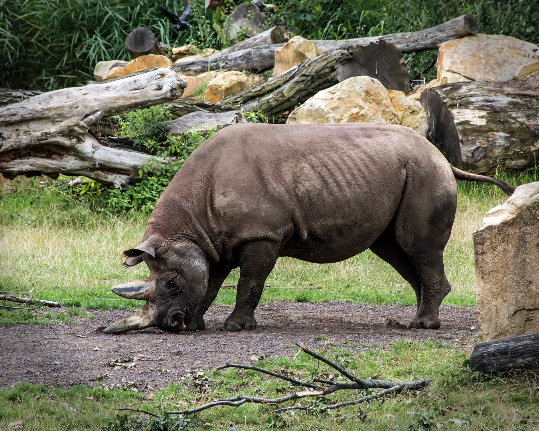 Nashorn im Zoo Leipzig