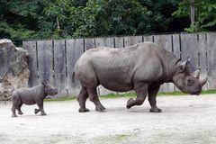 Nashorn-Mama mit Nachwuchs Kibibi