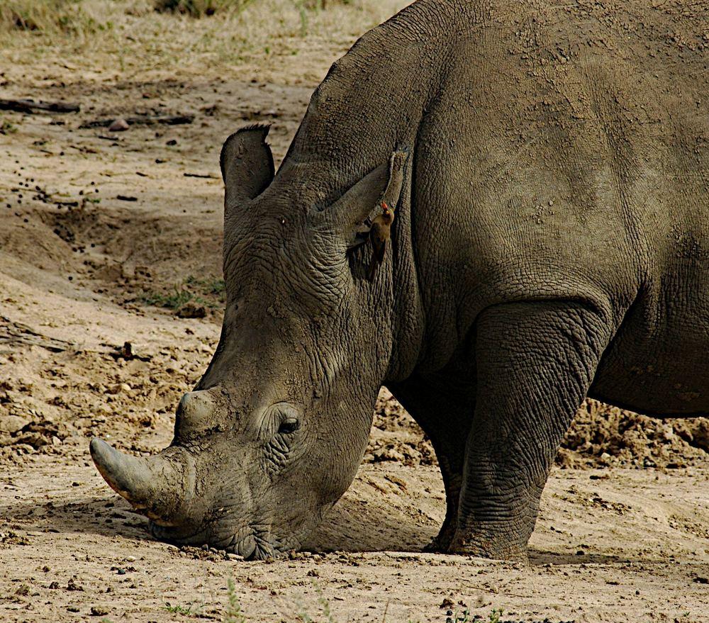 Nashorn mit Ohrenputzer
