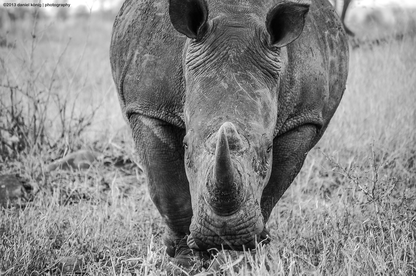 Nashorn / Rhino - Kürger National Park