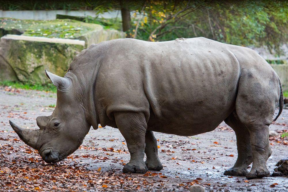Nashorn Zoo Dortmund (I)