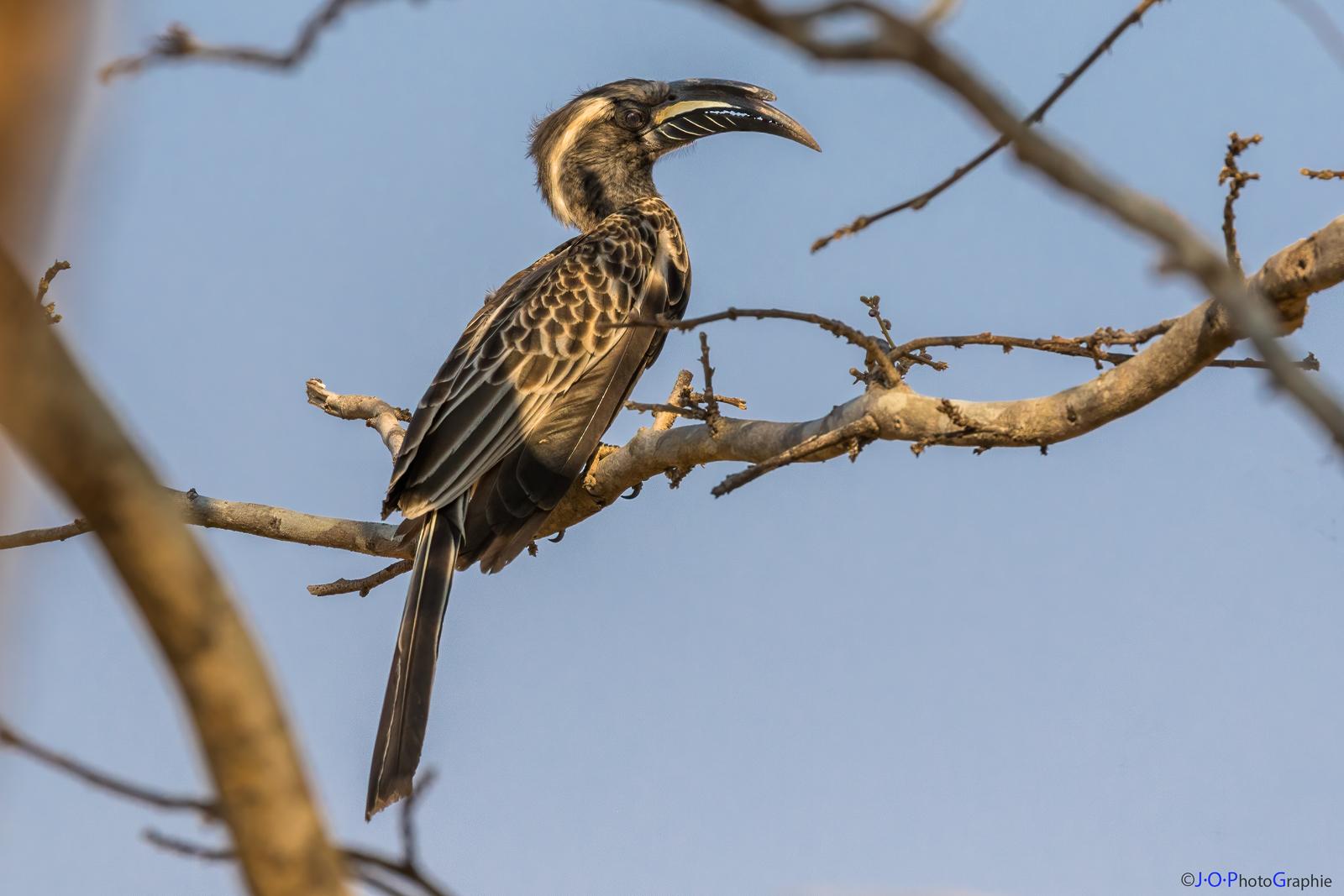 Nashornvogel, Grey Hornbill