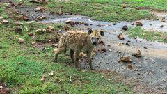 Nasse Hyäne