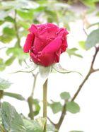 nasse Rose