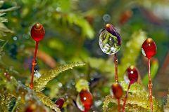 Nasse Sporenkapseln im Wald. -  Capsules de spores de mousse...