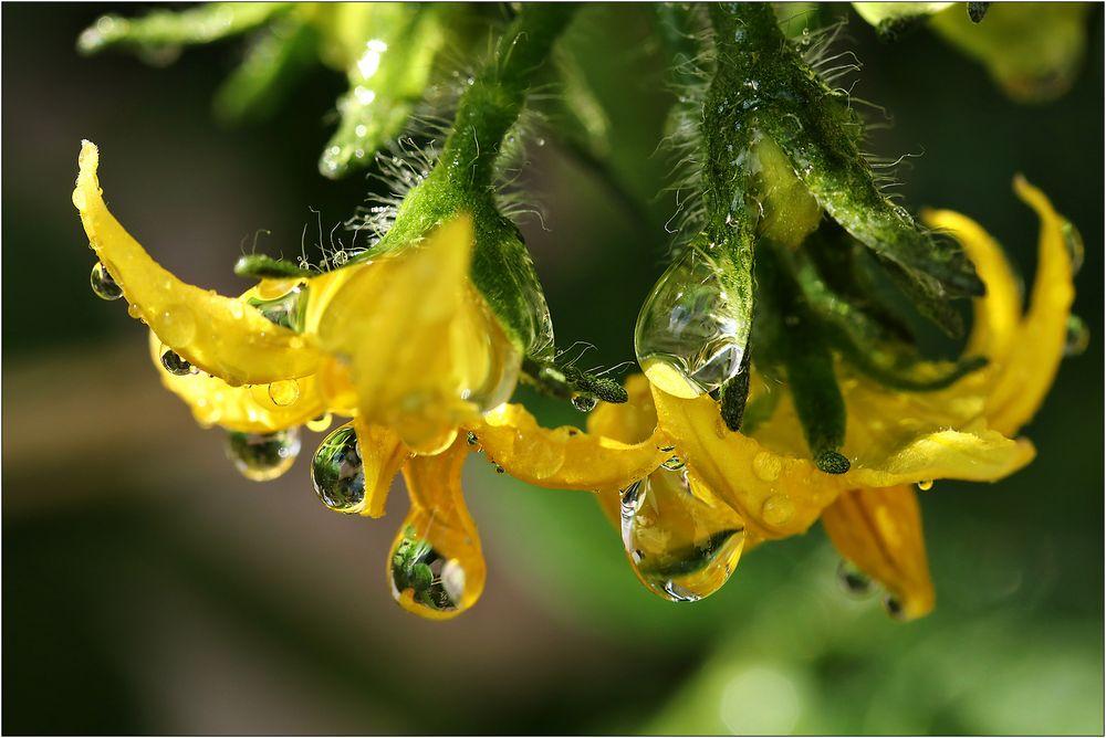 Nasse Tomaten-Blüten...