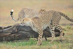 Nasser Gepard II