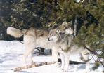 Nationalpark Yellowstone Wölfe ( Gefangenschaft )