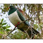 Native New Zealand Wood Pigeon