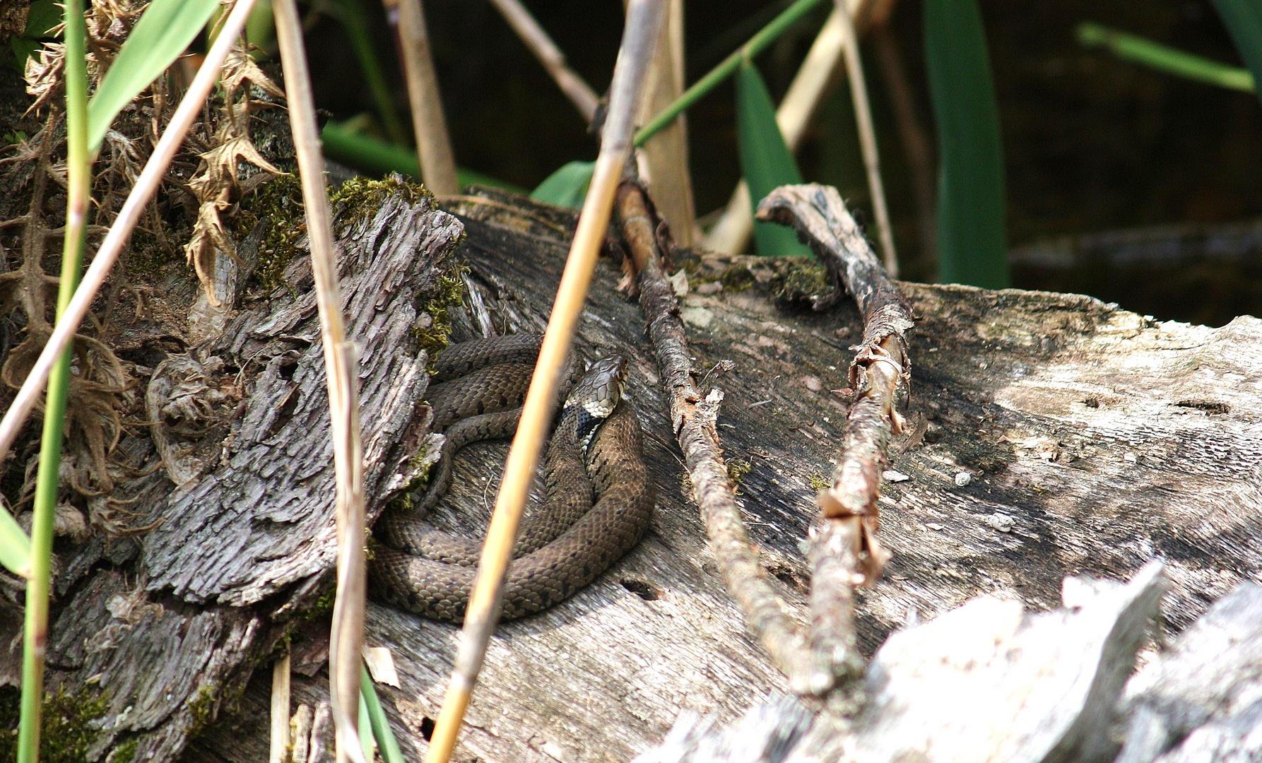 Natrix n.helvetica