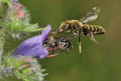 Natternkopf-Mauerbiene