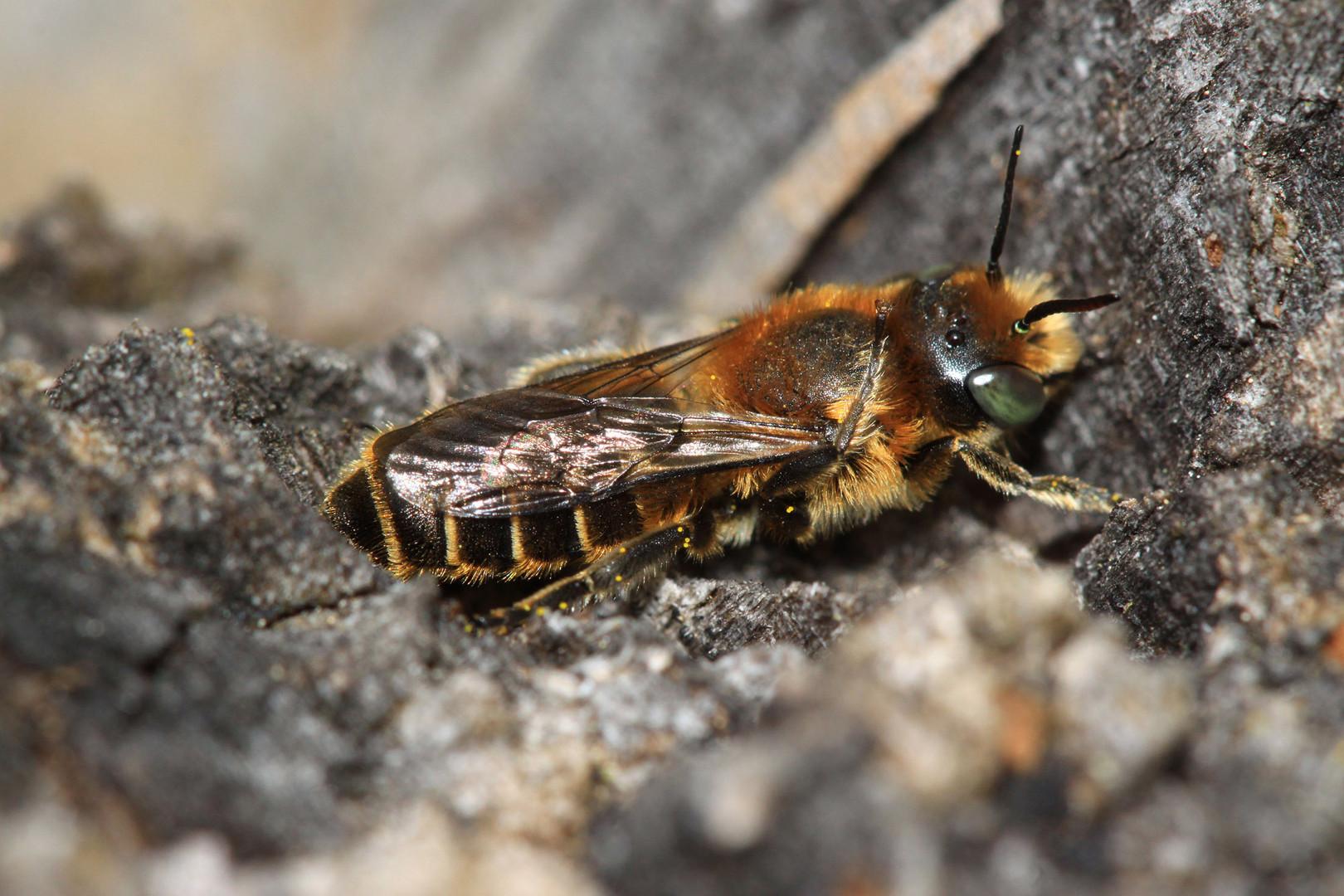 Natternkopf-Mauerbiene (Osmia adunca) - Männchen