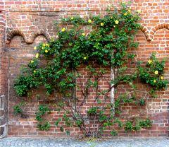 Natur an der Mauer des Franziskanerklosters in Salzwedel.