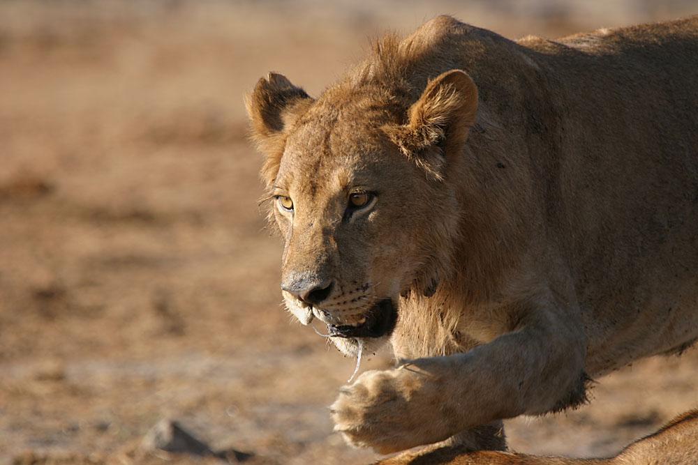 Natur-Doku: 38,5 Stunden aus dem Leben eines Löwenrudels